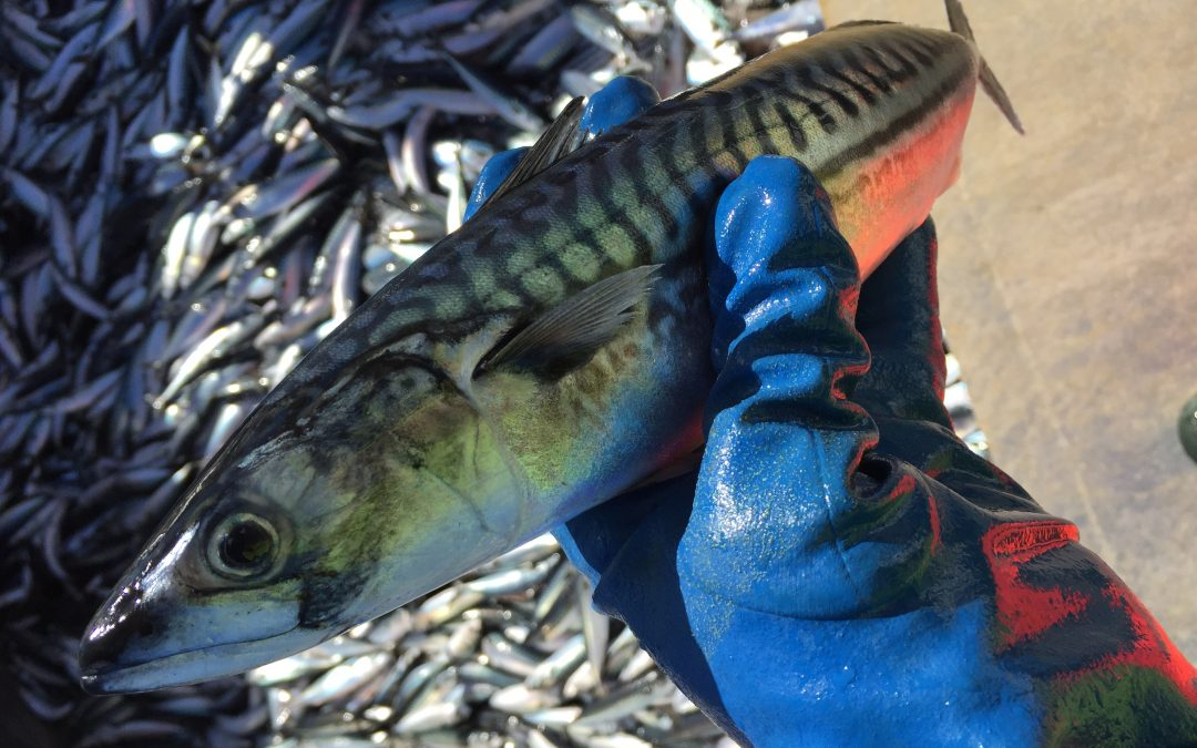 Scots call for swift international agreement on mackerel