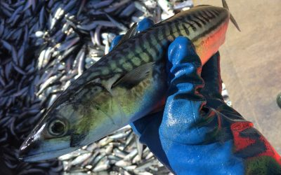 EU fishermen strongly reject Norway's unilateral mackerel quota grab and call for immediate EU action