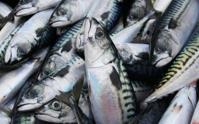 Calls for immediate EU action against Norway and Faroe Islands to stop their overfishing of the mackerel stock
