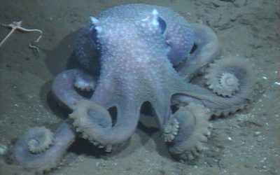 The Deeper These Octopuses Live, The Wartier Their Skin