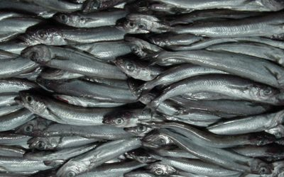 €11.5 million Blue whiting agreed for Irish Fishermen