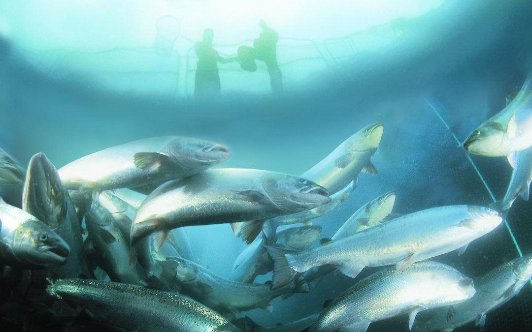 Islanders deafened by Department's silence on salmon application