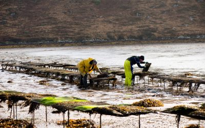 COVID Recovery: Achill Oysters urge restaurants to source Irishseafood