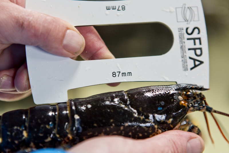 SFPA Issues Reminder on Crab and Lobster Fishing Regulations