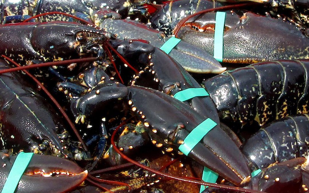 SFPA seizes illegal lobster catch in Mayo