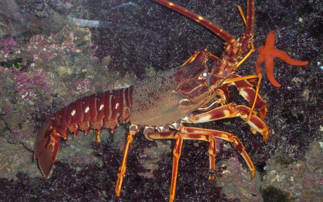 South West Crayfish Management Public Consultation Launched